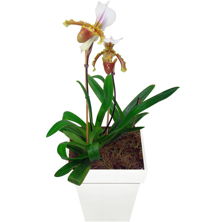 Orquidea Sapatinho