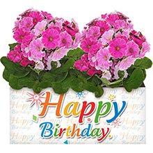 Happy Birthday e Prímulas