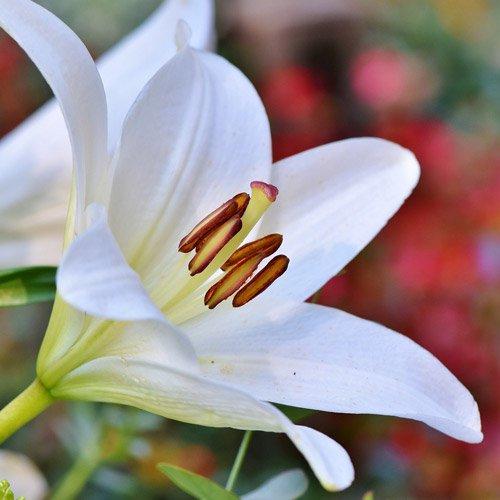 Close pétala de lírio branco
