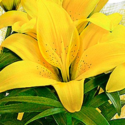 Lírio Amarelo Plantado