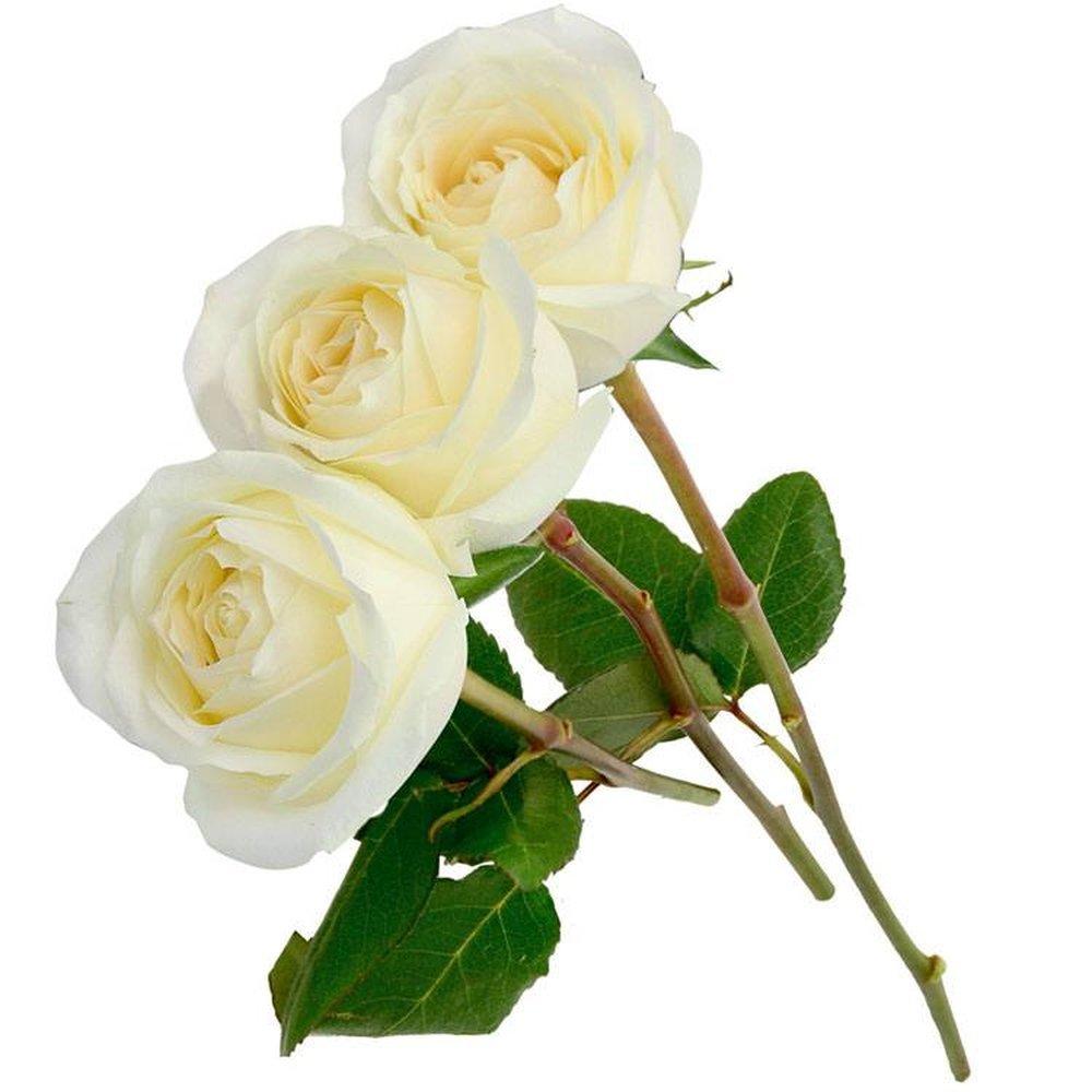 Três Rosas Colombianas Brancas