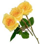 Três Rosas Colombianas Amarelas