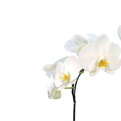 Deslumbrante Phalaenópsis Branca