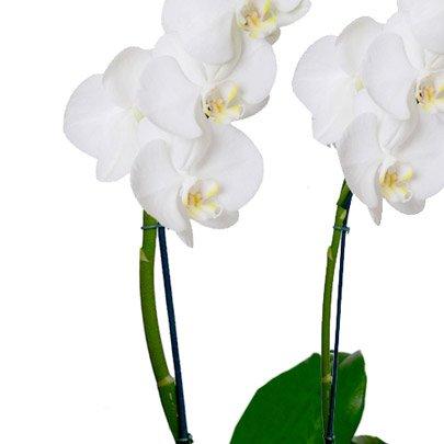 Jardim de Phalaenopsis