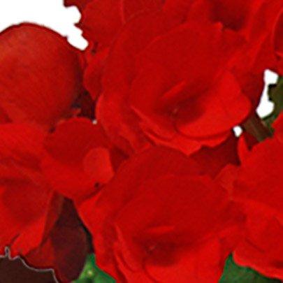Linda Begônia Vermelha Plantada