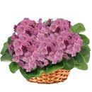 Cesta Premium de Violetas Rosa