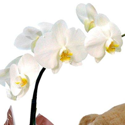 Orquidea Phalenopsis Plantada com Pelúcia
