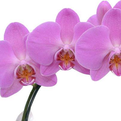Orquídea Phalenopsis Pink e Ferrero Rocher