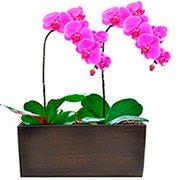 Lindas Phalaenopsis Pink