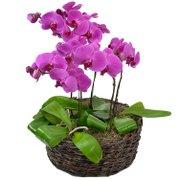 Sofisticadas Phalaenopsis Pink