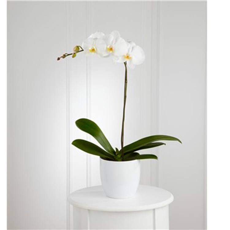 Requinte da Orquídea  Internacional