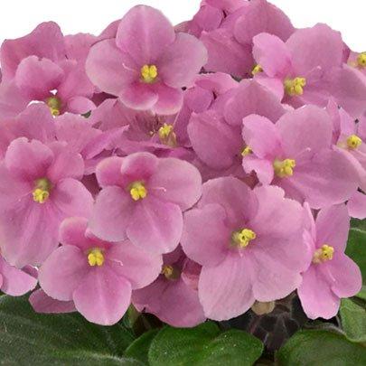 Encanto das Violetas Cor de Rosa