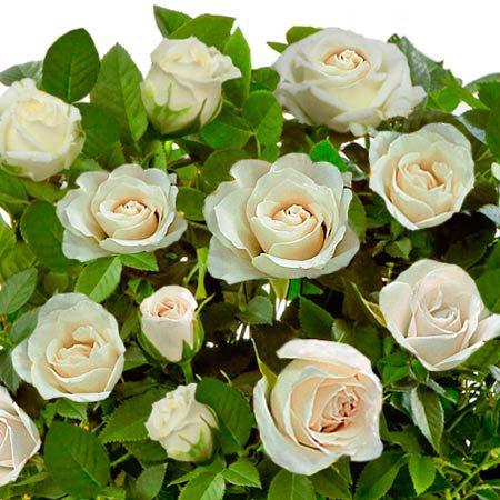 A Magia da Mini Rosa Branca