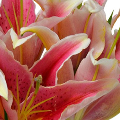 Surpresa de Lírios cor de rosa