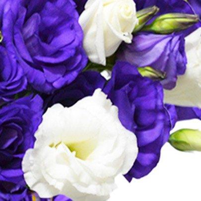 Lisianthus Roxo e Branco no Vaso