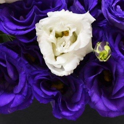 Majestosos Lisianthus Roxo e Branco