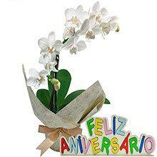 Mini Orquídea Rara Branca Feliz Aniversário
