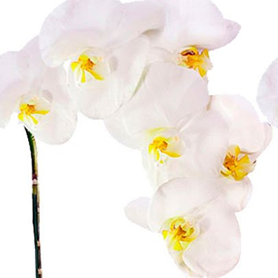 Linda Phalenopsis Branca Feliz Aniversário
