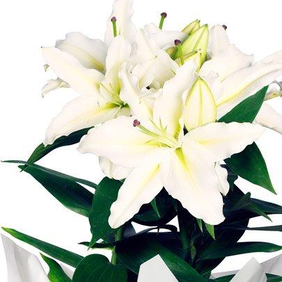 Lírio Branco Plantado