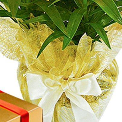 Lírio Amarelo Plantado e Caixa de Chocolate