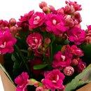 Mini Flor de Fortuna Pink