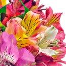 Admiração de Astromélias Coloridas no Vaso