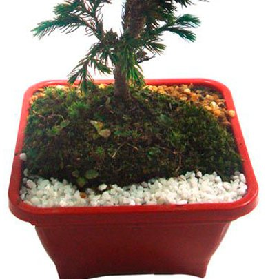 Bonsai Pássaro Azul