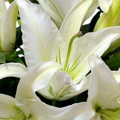 Lindos Lírios Brancos